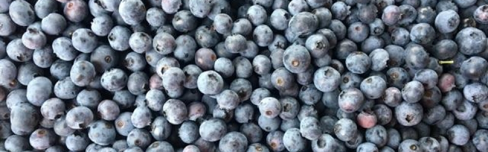 Fresh Blueberries- Pick Your Own Apples & Blueberries From Our Orchards Near Frederick & Hagerstown, MD